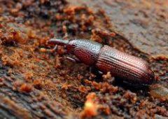 Wood Boring Weevil (Pentarthrum huttoni)