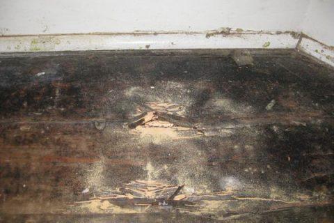 Wet Rot Fungus (Coniophora Puteana) on floor joists